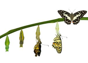 transformation of a butterfly